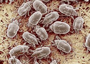 infestation acariens dans une maison humide
