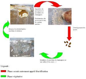 differentes phases du développement de la mérule. Comprendre et reconnaitre le développement de la mérule.