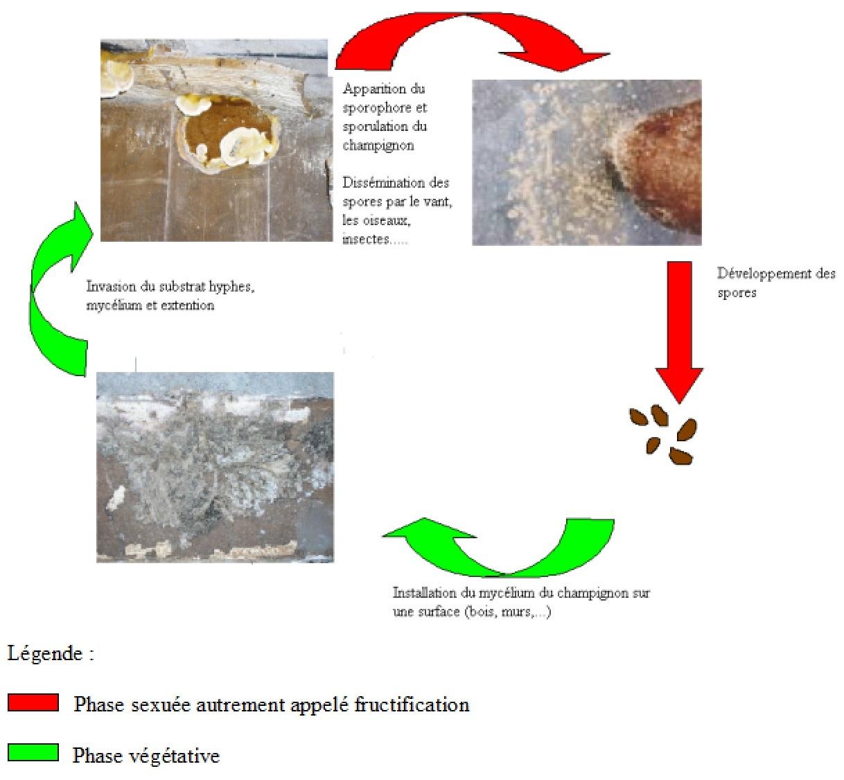 differentes phases du développement de la mérule