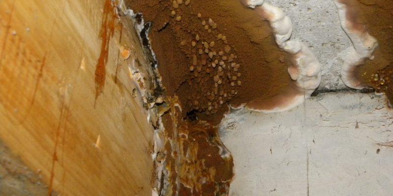 reconnaitre un mérule : analyser le champignon la mérule et le reconnaitre. Voir des photo de mérule