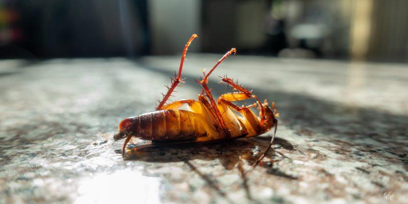 Blattes et cafards dans la cuisine contre un mur humide. l'humidité de la maison favorise le développement des blattes dans les lieux humides